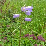Nettle-Ieaved bellflower
