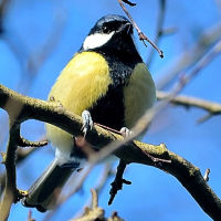 Great Tit 200